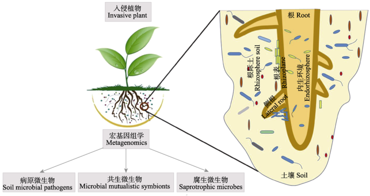 Soil microbiota and plant invasions: current and future